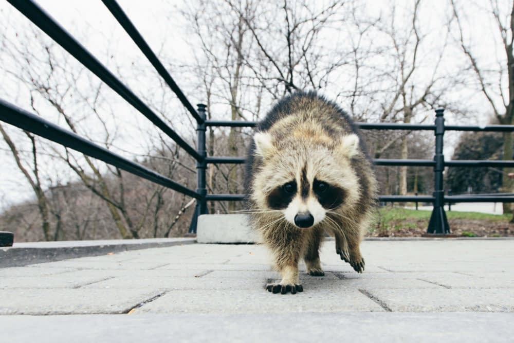 Can Raccoons Become Domesticated in the Future?