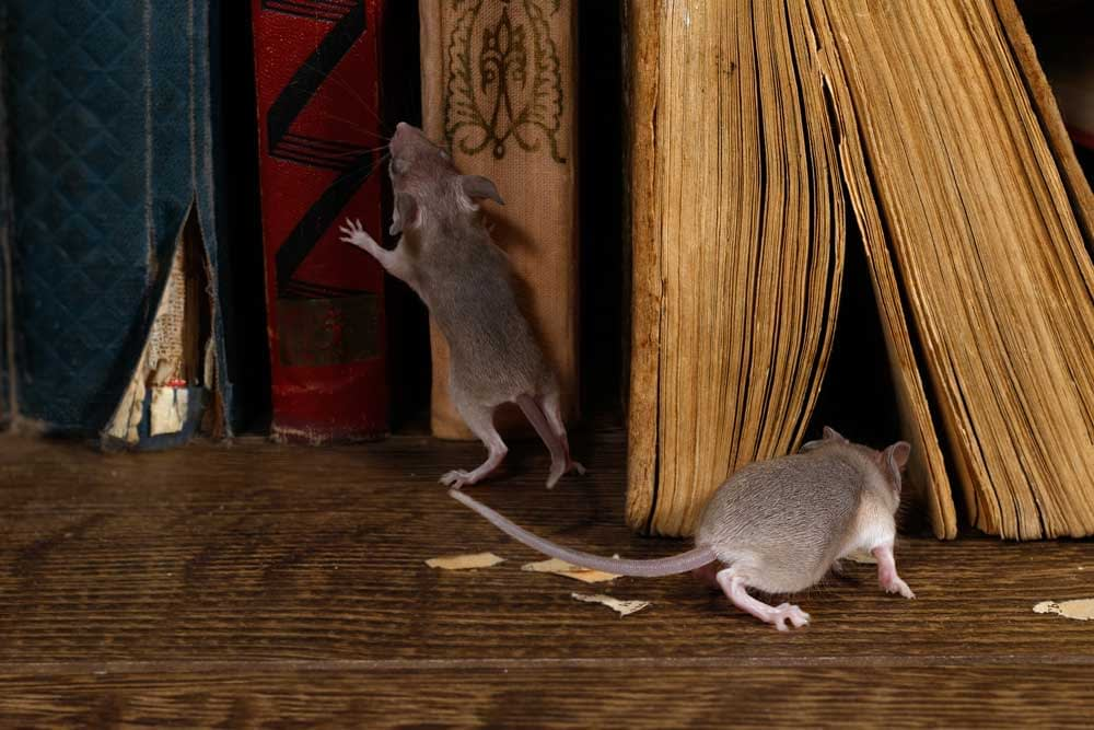 Mice Are Scared Of Distress Noises