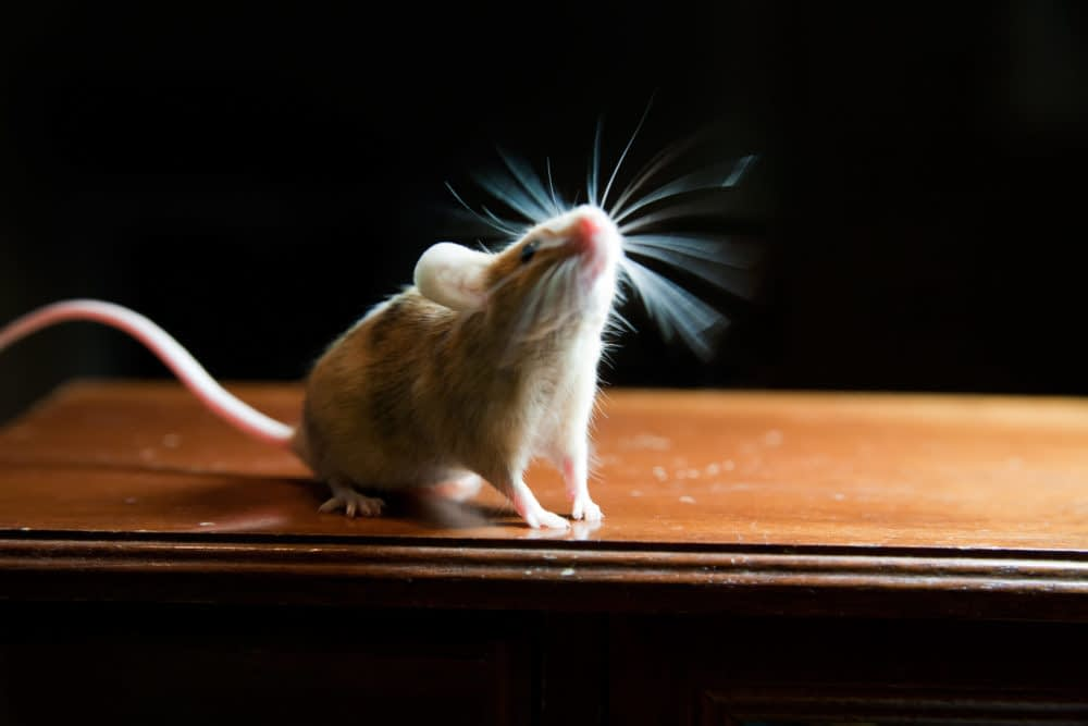 Mice Are Scared Of Ultrasonic Sounds