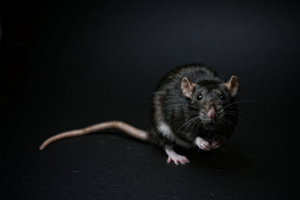The Dangers of Rats