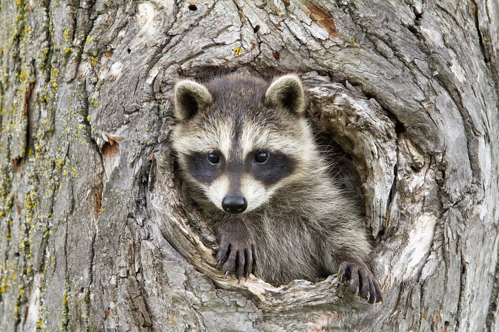 The Tell-Tale Signs of Raccoons Nests and Dens