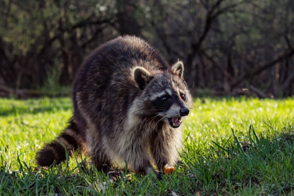 What Does A Raccoon Sound Like?