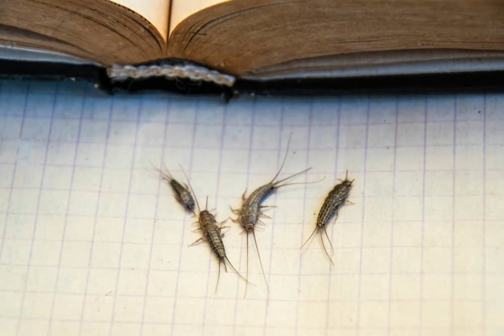 What Problems Can Silverfish Cause?