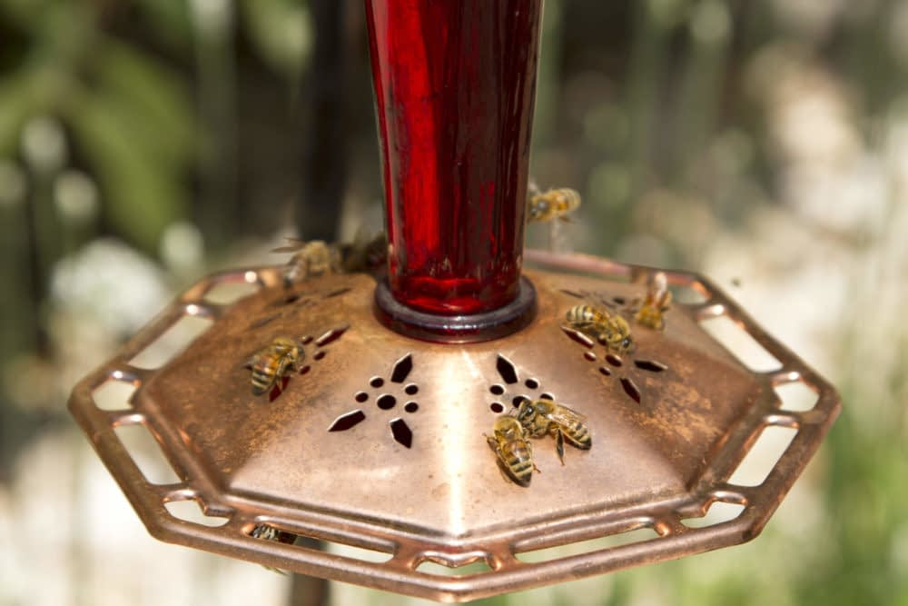 Why Are Bees Swarming the Hummingbird Feeder?