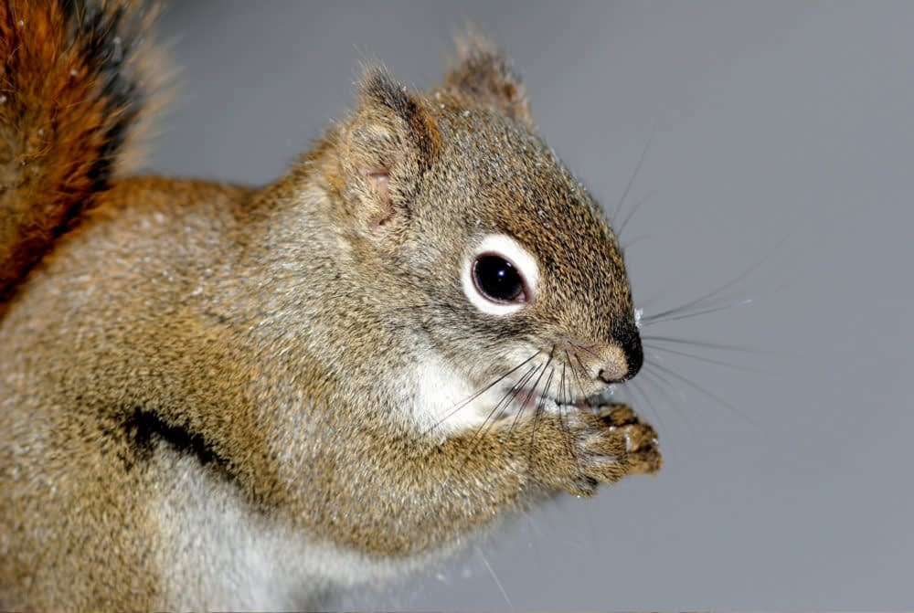 Do Squirrels Ever Attack People