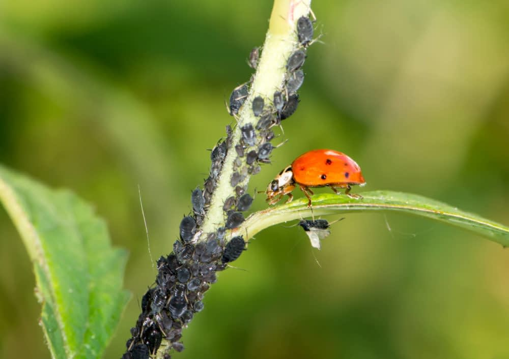 the pros and cons of biocontrol e1590734359318