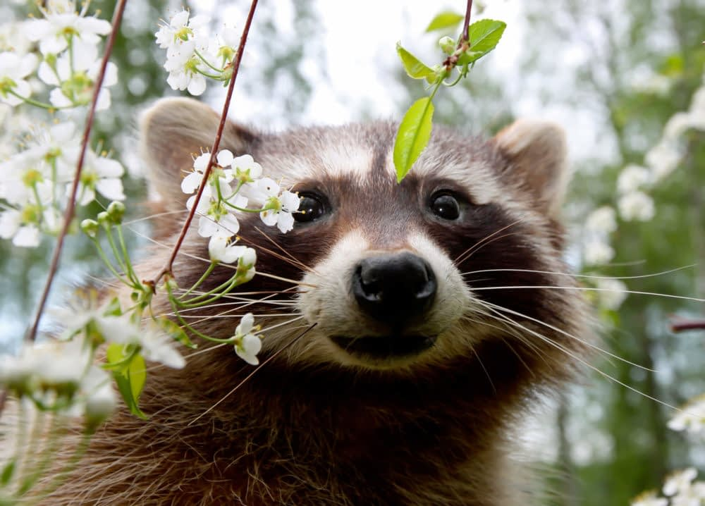 What Does It Mean If A Raccoon Is Out During The Day?