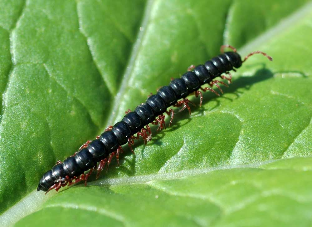 How Many Legs Do Centipedes Have? Millipedes? Other Insects?