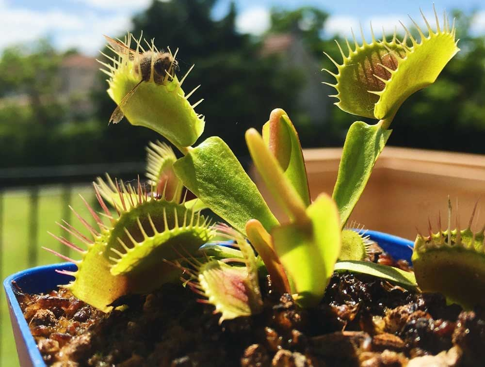 are venus fly traps easy to grow and keep alive 2