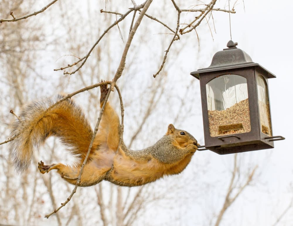 How To Keep Squirrels Off of Bird Feeders