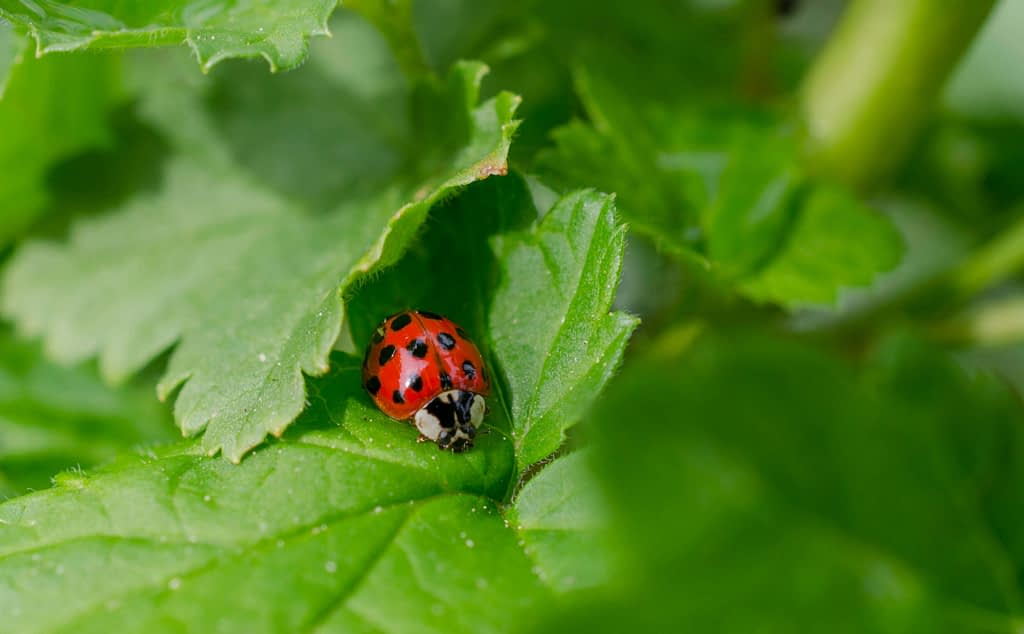 All About Ladybugs 14 Common Ladybug Questions Answered