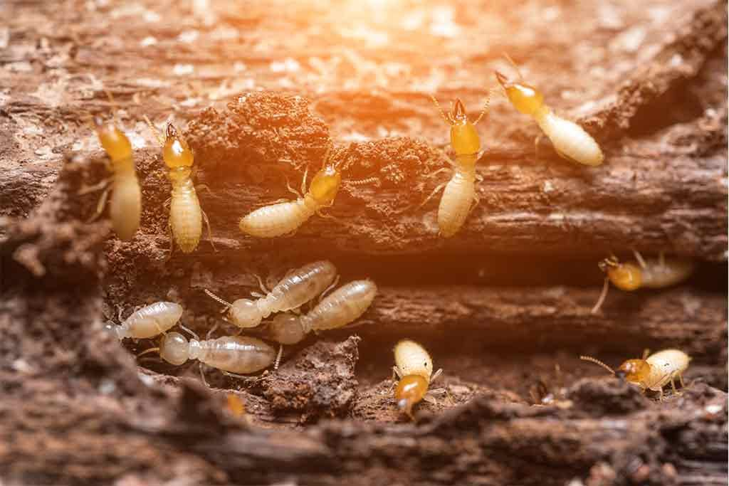 Do Termites Die When Exposed To Air Sunlight or Water?