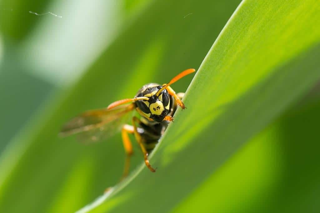 Can A Wasp Sting More Than Once?