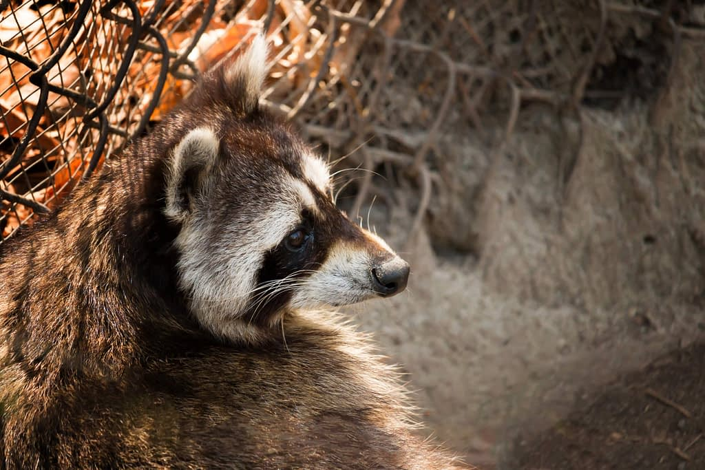 Are Raccoons Dangerous? Should You Call An Exterminator?