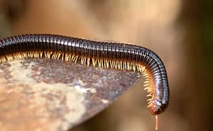 How Many Legs Do Millipedes Have?