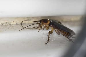 How Are Cockroaches a Danger at Home?